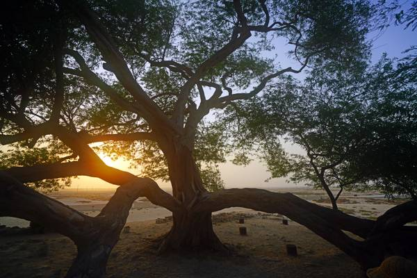Shajarat-al-Hayatm, Tree of Life, Bahrain