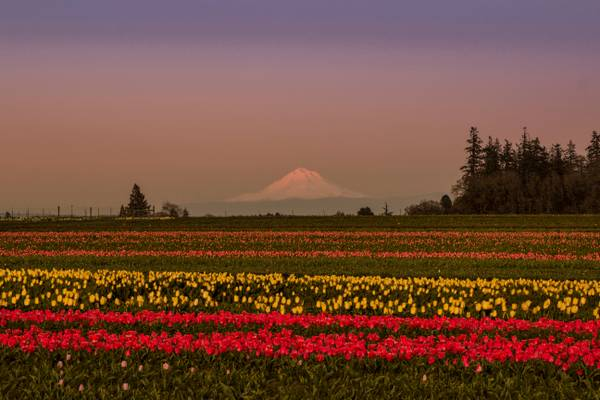 Lone tree and red tulips, Oregon